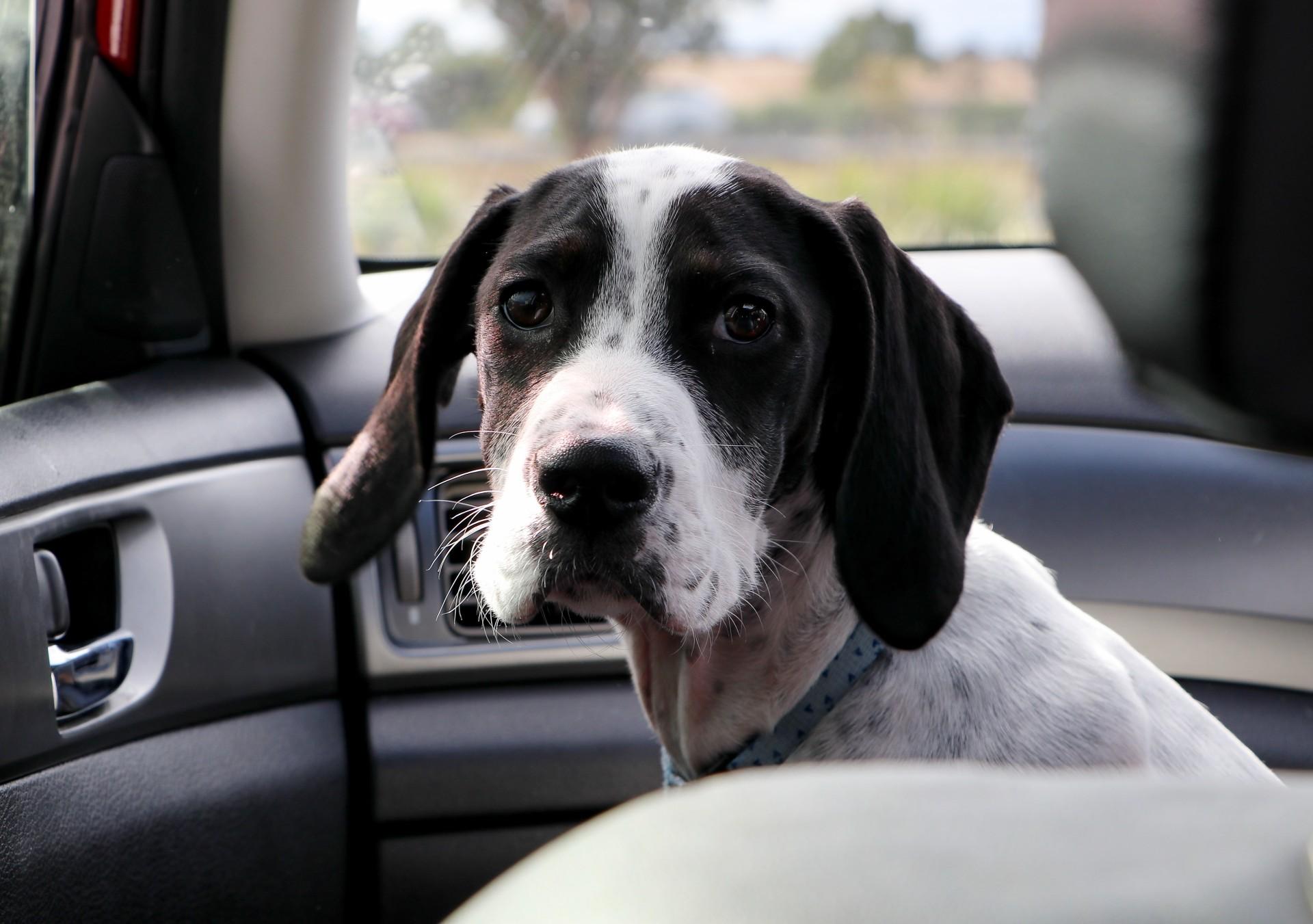 dog in car 2.jpg (334 KB)